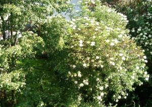 Holunder im Feng Shui Garten