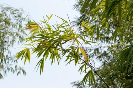 Bambus - Symbol für Langlebigkeit