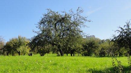 Birnbaum mit Früchten