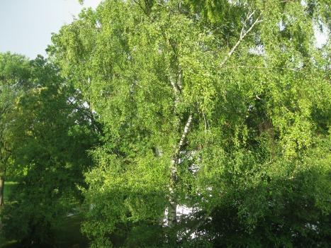 Das Wesen der Birke - luftig, leicht, verspielt und keck
