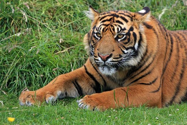 Tigermonat beginnt