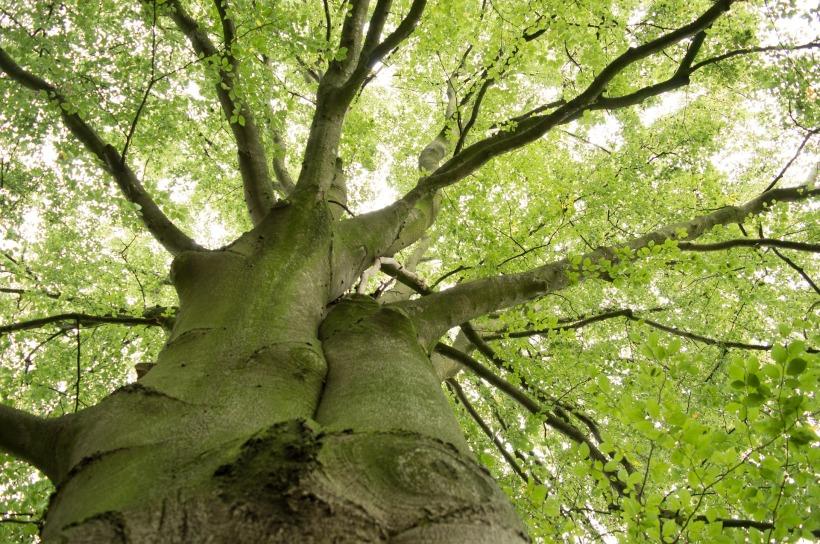Buche - Baum der Runen